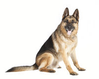 Sheepdog of the side Stock Images