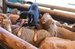 A sheepdog with tongue hanging out rests on the back of the sheep he just coralled Stock Image