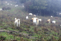 The Sheepdog Stock Photo