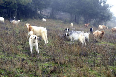 The Sheepdog Stock Photo