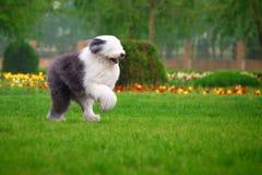 Sheepdog velho inglês Fotografia de Stock