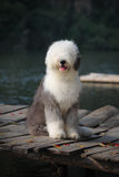 Sheepdog velho inglês fotos de stock