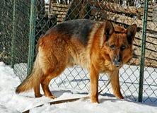 O Sheepdog está olhando. foto de stock royalty free
