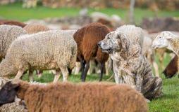 Sheepdog. Watching flock of sheep, shallow depth of field Royalty Free Stock Photo