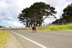 Sheepdog watching over sheep crossing road in New Zealand Royalty Free Stock Images