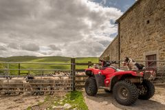 Sheepdog watching sheep on quad bike Royalty Free Stock Photos