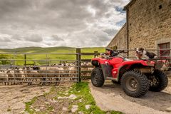 Sheepdog watching you on quad bike Royalty Free Stock Image