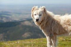 Sheepdog Royalty Free Stock Images