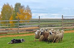 Sheepdog working sheeps. Border Collies working as sheepdogs with flock of sheep on a meadow Royalty Free Stock Photo