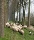Sheepdogs and flock in Belgium Stock Image