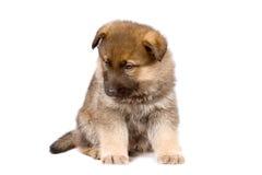 Sheepdogs puppy Stock Photos