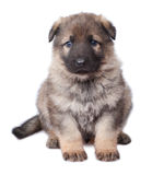 Sheepdogs puppy Stock Photography