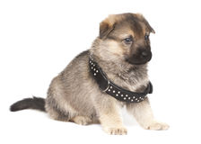 Sheepdogs puppy with big black collar Stock Image
