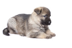 Sheepdogs puppy Stock Images