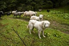 Sheepdogs and sheeps on a subalpine meadow Stock Photos