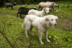Sheepdogs and sheeps on a subalpine meadow royalty free stock image