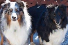 sheepdogs två arkivfoton
