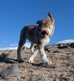 Sheepdogvalpar royaltyfri fotografi