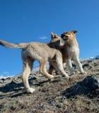Sheepdogvalpar fotografering för bildbyråer