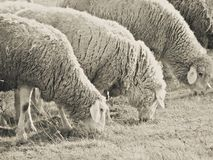 Sheepflock Royalty Free Stock Photos