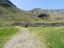 sheepfold两只绵羊infront与后边山的 免版税图库摄影