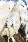 Sheepfold με τα εσωτερικά sheeps Στοκ Φωτογραφία