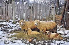 Sheepfold Stock Photos