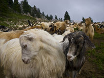 Sheepfold goats. Goat farm in Buila-Vanturarita National Park, Romania Royalty Free Stock Image