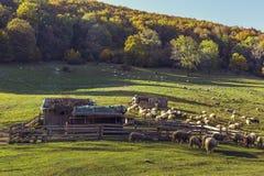 Sheepfold and grazing sheep flock Stock Image