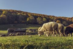 Sheepfold and grazing sheep flock Royalty Free Stock Image