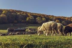 Sheepfold i pastwiskowy cakla kierdel obraz royalty free