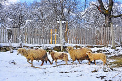 Sheepfold In Winter Farm Royalty Free Stock Photo