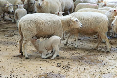 Sheepfold Stock Image
