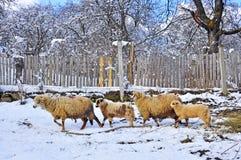 sheepfold rolna zima zdjęcie royalty free
