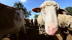 Sheepfold w lesie zdjęcie wideo