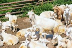Sheepfold Royalty Free Stock Photo