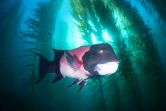 Sheephead in kelp royalty-vrije stock fotografie