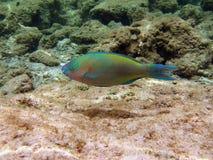 Sheephead Parrotfish. A coloured sheephead parrotfish from maldivian coral reef Royalty Free Stock Photos