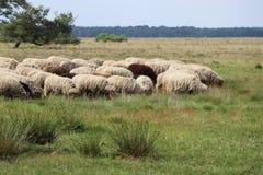 Sheepherd 库存照片