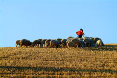 Sheepherd. Many white and black sheeps on hill stock image