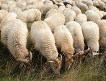 Sheepherd fotografía de archivo