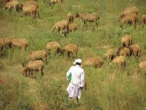 sheepherder Arkivbilder