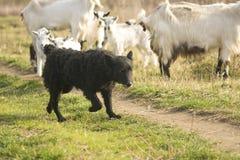 sheepherder obrazy royalty free