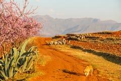 Sheepherder z jego stadem, Lesotho, Afryka obrazy stock