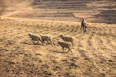 Sheepherder z stadem obraz royalty free