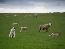 A Sheepherding Dog Watching His Flock royalty free stock photo