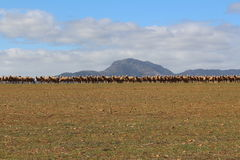 sheepish Royalty-vrije Stock Afbeelding