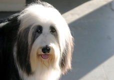 Sheepish Sheepdog. A show dog after competing and losing in a kennel club dog show competition in Ventura, California Royalty Free Stock Images
