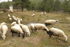 Sheepman and sheep Royalty Free Stock Photo
