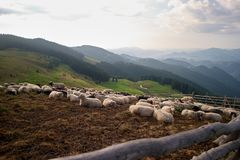 Sheeps στο Καρπάθιο λιβάδι βουνών στοκ φωτογραφίες